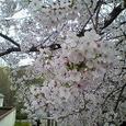 2006年桜満開その2