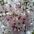 2006年桜満開その3