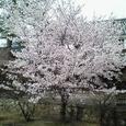 2006年桜満開その5
