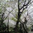 アイビー・スクエアの桜2007 その1