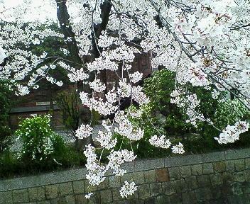 2006年桜満開その1