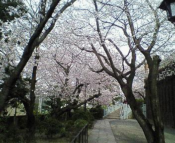 2006年桜満開その4