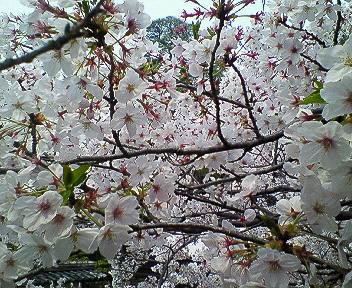 美観地区の桜2007 その1