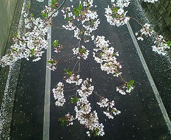 アイビー・スクエアの桜2007 その3